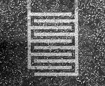 Example of cells growing on interdigitated electrodes